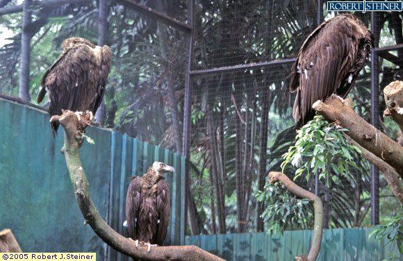 Jurong Bird Park, Vulture