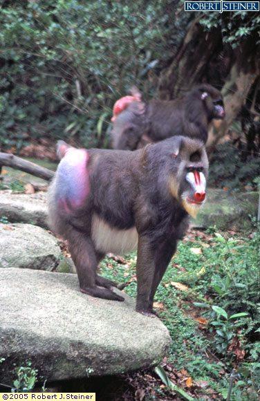 Singapore Zoological, Baboon