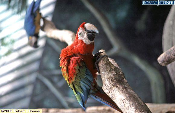 Jurong Bird Park, Closeup Red Parrot